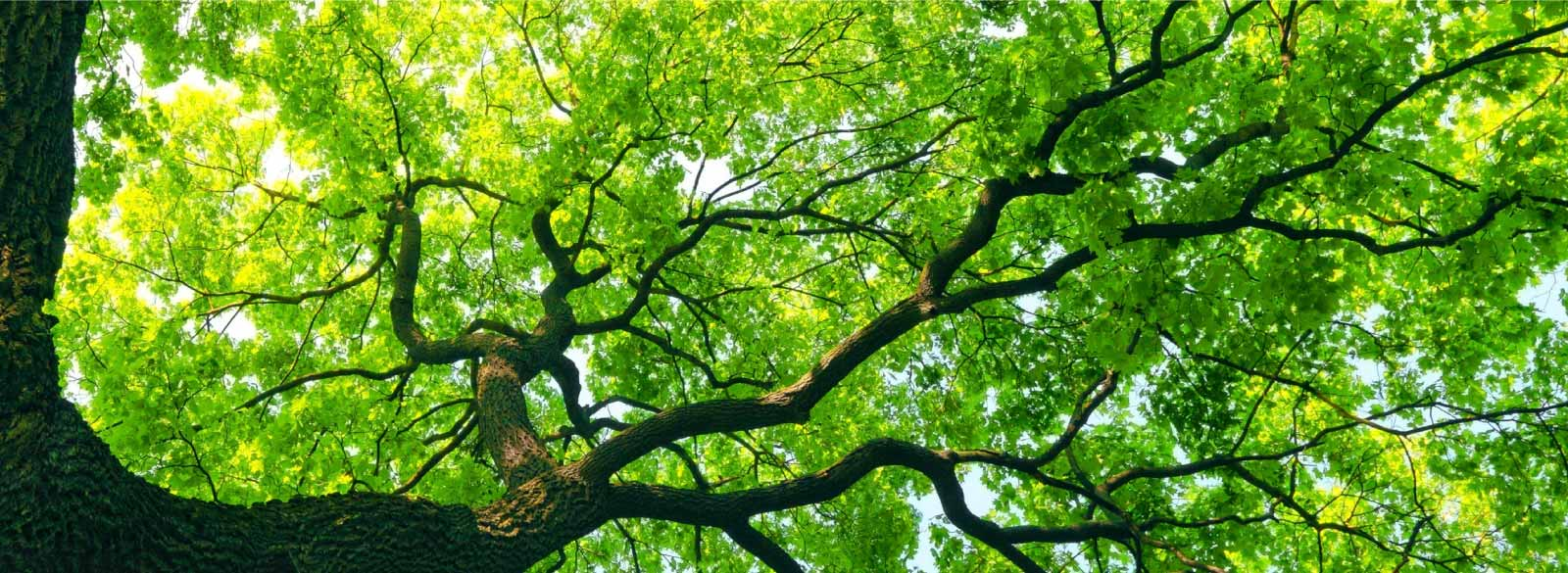 Looking overhead to see a large tree with broad branches.